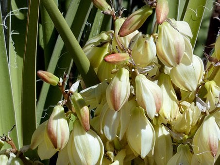 Desert, Suculent, Flowers, Blossom, Fresh, Floral