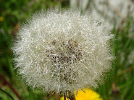 Weed, Dandelion, Flower, Plant, Seed, Clock, Flora