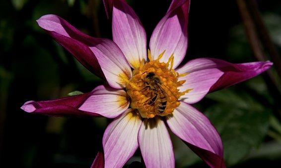Star Dahlia, Dahlia, Flower, Garden, Lilac, Purple