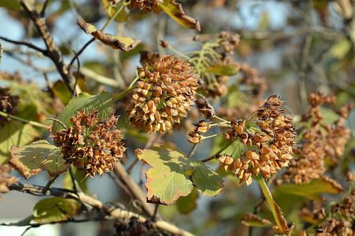 Physocarpus, Kalinolistny, Bush, Seeds, Fruit
