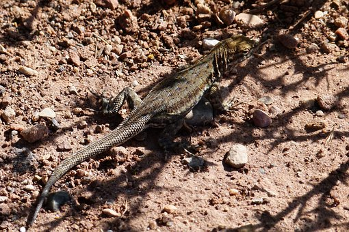 Lizard, Reptile, Wild Life, Nature, Desert, Animal