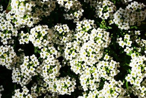 Little Dorrit, Alyssum, Lobularia Maritima