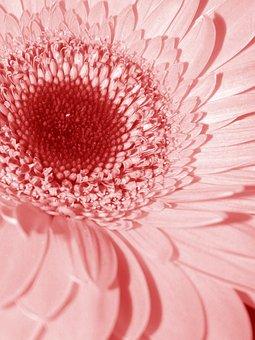 Pink, Flower, Daisy, Mutisioideae, Gerbera, Nature