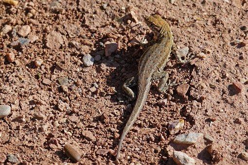 Desert Iguana, Lizard, Wild Life, Nature, Desert