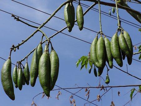 Silk Cotton Nut, Nut, Silk Cotton, Dharwad, India