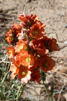 Desert, Suculent, Flowers, Blossom, Bloom, Fresh