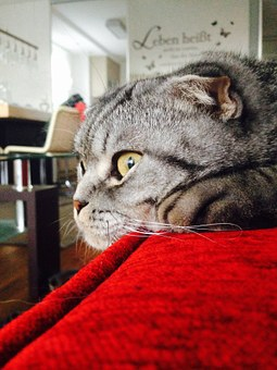 Scottishfold, Attention, Tigerkaterle, Cat, Pet, Cute