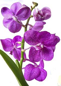 Vanda Orchid, Pink, Exotic, Tropics, Blossom, Bloom