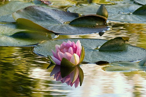 Plant, Water Lily, Nimphaea, Water, Pond