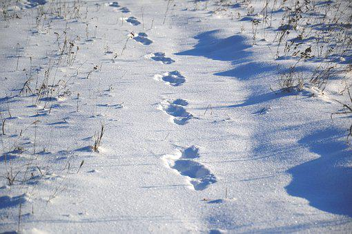 Animal Tracks, On Snow, Snow, Winter, Frost, Sunny Day