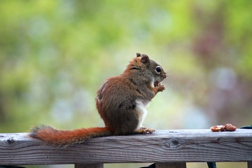Squirrel, Animal, Wild, Eating, Nuts, écureuil, Nature