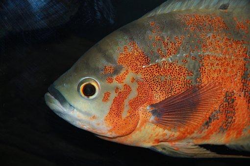 Astronotus, Cichlids, Fish, Undersea World, Aquariums