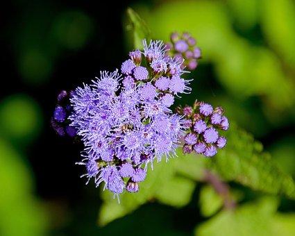 Blue, Ageratum, Flower