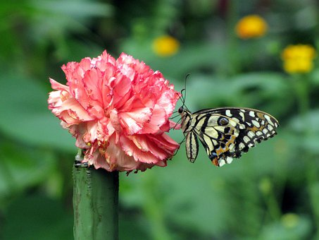 Nature, Flower, Carnation, Butterfly, Red White