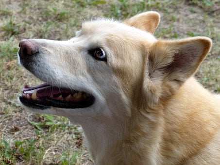 Wolf, Husky, Cross, Canine, Pet, Blue, Eyes, Dog