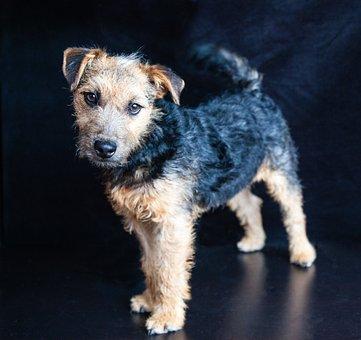Lakeland Terrier, Dog, Terrier, Pedigree, Cute, Puppy