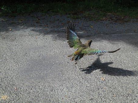 Kea, Bird, New Zealand, Parrot, Flight, Animal