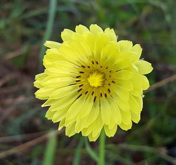 Flower, Yellow Flower, Texas Dandelion, False Dandelion