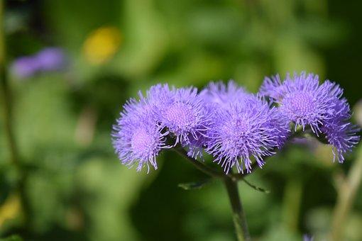 Ageratum Houstonianum, Ageratum, Flowers, Purple