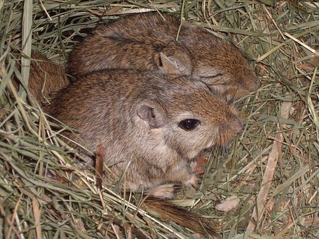 Mongolian Gerbils, Mice, Gerbils, Mouse, Nager, Brown