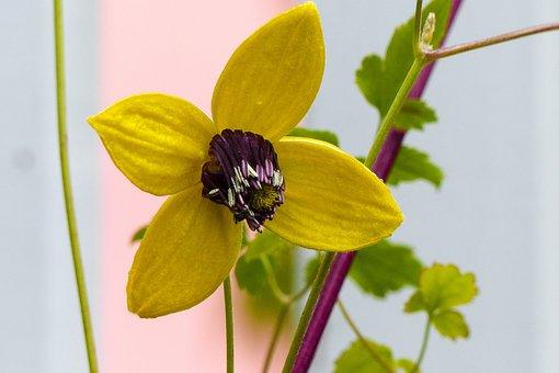 Clematis Tangutica, Yellow, Flower, Golden Tiara