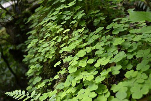 Clovers, Green, Nature, Plant, Forest, Environment