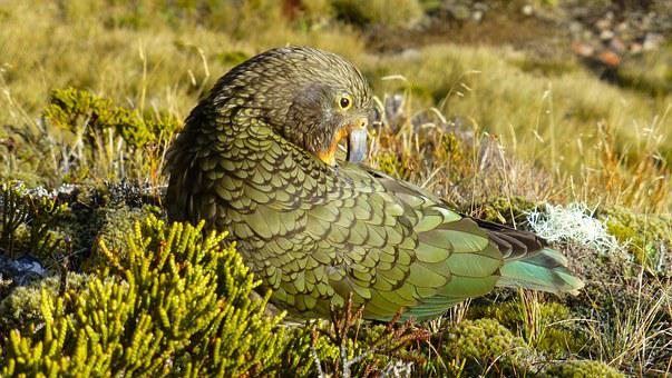 Kea, Parrot, New Zealand, Bird, Nature, Green
