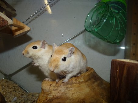 Mongolian Gerbils, Mice, Small Animals, Curious, Nager