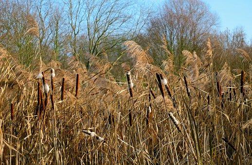 Cattail, Reed, Plant, Nature, Kanonenputzer, Winter