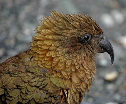 Kea, New Zealand, Parrot, Bird