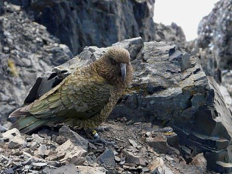 New Zealand, Avalanche Peak, Parrot, Bird, Summer