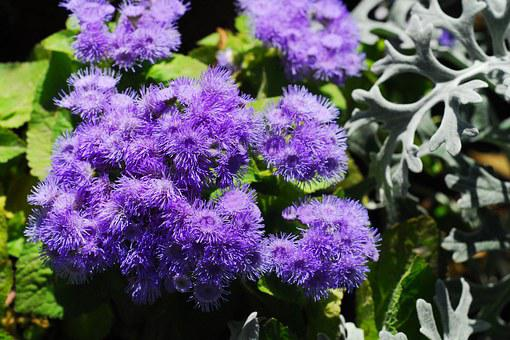 Ageratum, Flower, Nature, Garden, Plant, Flora, Purple