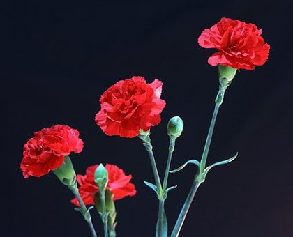 Red Carnations, Perennial, Floral, Plant, Natural