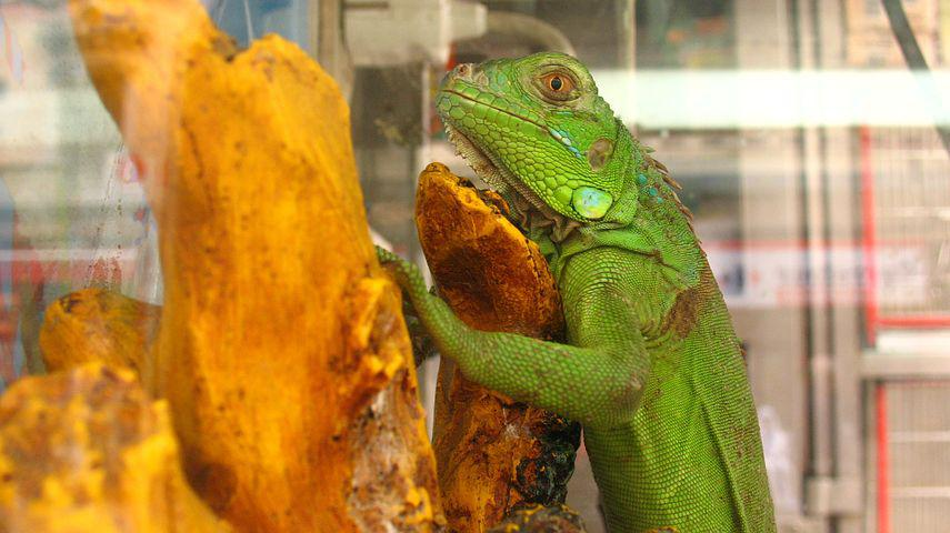 Lizard, Terrarium, Reptile, Animal, Tropical, Pet