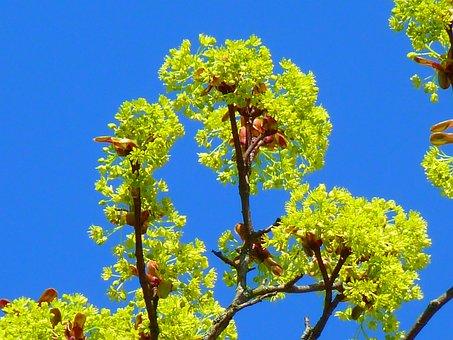 Maple, Maple Blossom Blossom, Spring, Nature