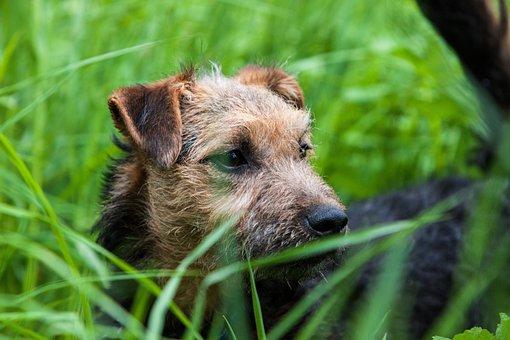 Terrier, Lakeland, Puppy