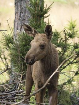 Moose Calf, Moose, Moose Child, Young Animal, Young