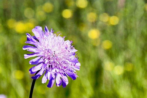 Scabious Reported, Shrub, Blossom, Bloom, Flower