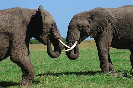 Animals, Elephant, Bull, Fight, Tusk, Jungle, Africa