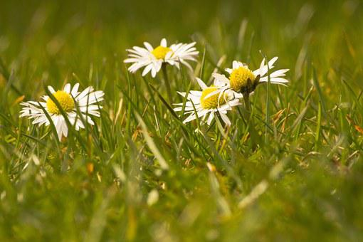 Daisy, White, Flowers, Spring, First Born
