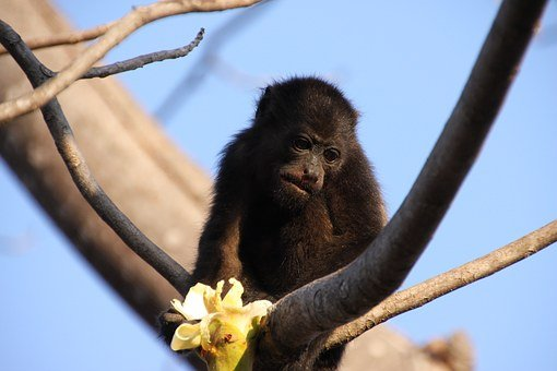 Monkey, Howler Monkey, Tree, Blossom, Bloom, Eat
