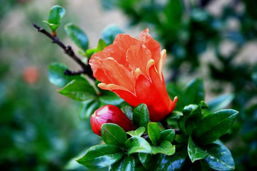 Flower, Bloom, Bud, Pomegranate, Orange, Bright, Tree