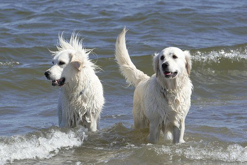 Golden Retriever, Dogs, Ginger And Grace