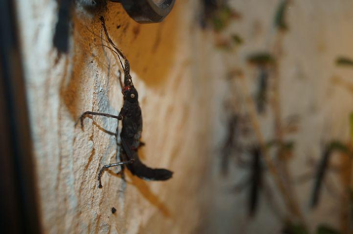 Velvet Insect, Grasshopper, Scare, Insect, Black