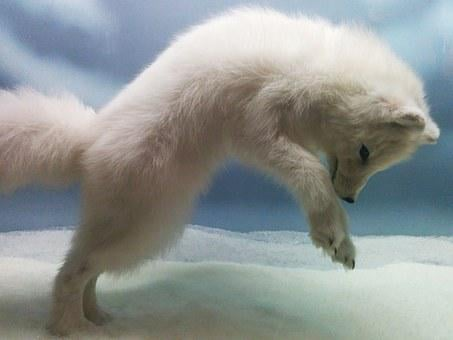 Snow, Fox, Jumping, Cute, Puppy, White, Winter