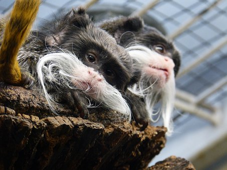 Kaiserschnurrbarttamarin, Monkey, Animal, Mammal