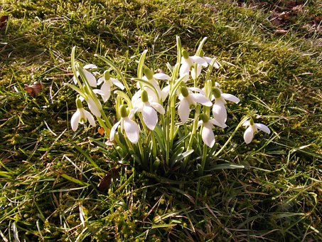 Snowdrop, Spring, March, Blossom, Bloom