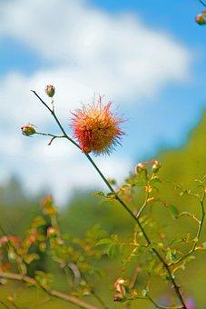 Flowers, Mealybug Wild Rose, Scrubland