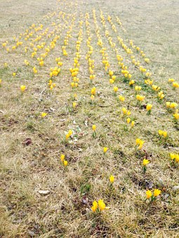 Crocus, Flowers, Yellow, Spring, Nature, Meadow, Earth
