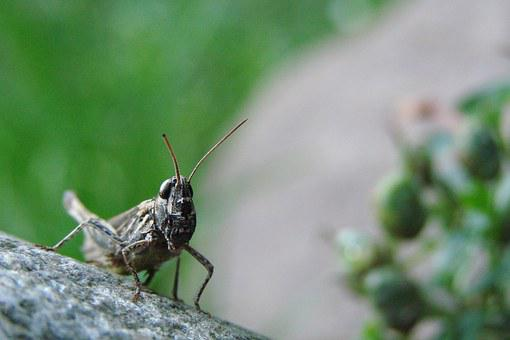 Grasshopper, Stone, On Stone, Insect, Nature, Wildlife